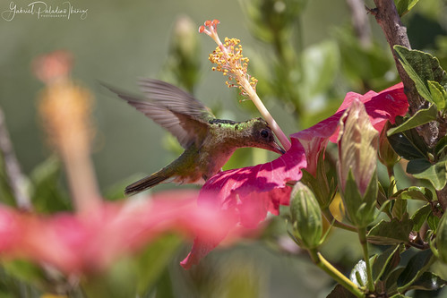 Hylocharis chrysura | by Gabriel Paladino Photography