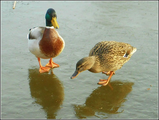 Two Mallards ..