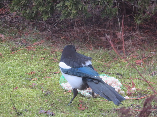 Harakas / Eurasian magpie or common magpie / Pica pica   by IngoValgma