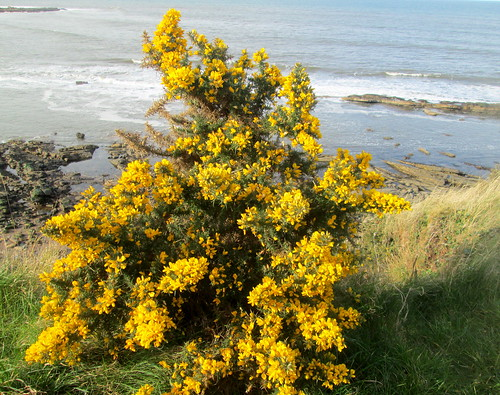 gorse | by piningforthewest