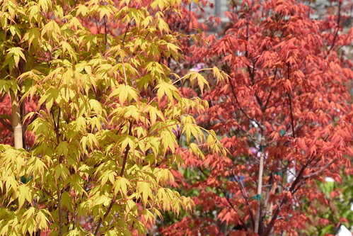Japanese Maples | by SouthwoodTulsaOK