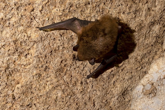 Eptesicus fuscus, Hawkins Impact Cave, Jackson County, Tennessee 2