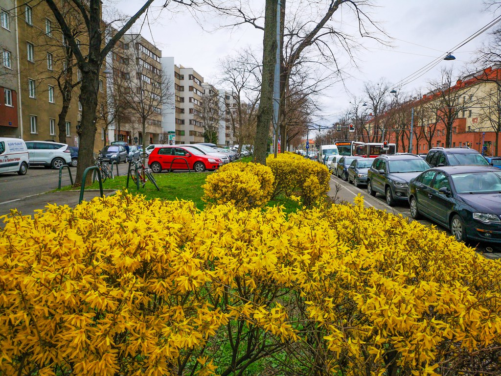 Yellow Forsythia Bushes The First Sign Of Spring Flickr