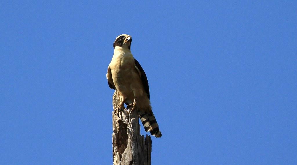 Laughing Falcon / Macagua rieur serie 2/ 2 ( Diane )