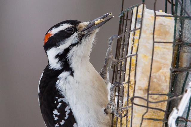 Pic chevelu mâle, Hairy Woodpecker - Québec, Canada - 0153