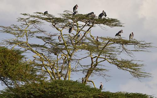 nairobi landscape creatures kenya nairobinationalpark maraboustork birds trees