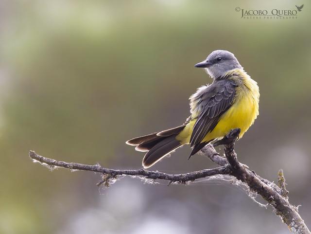 Tirano melancólico/ Tropical kingbird (Tyrannus melancholicus)