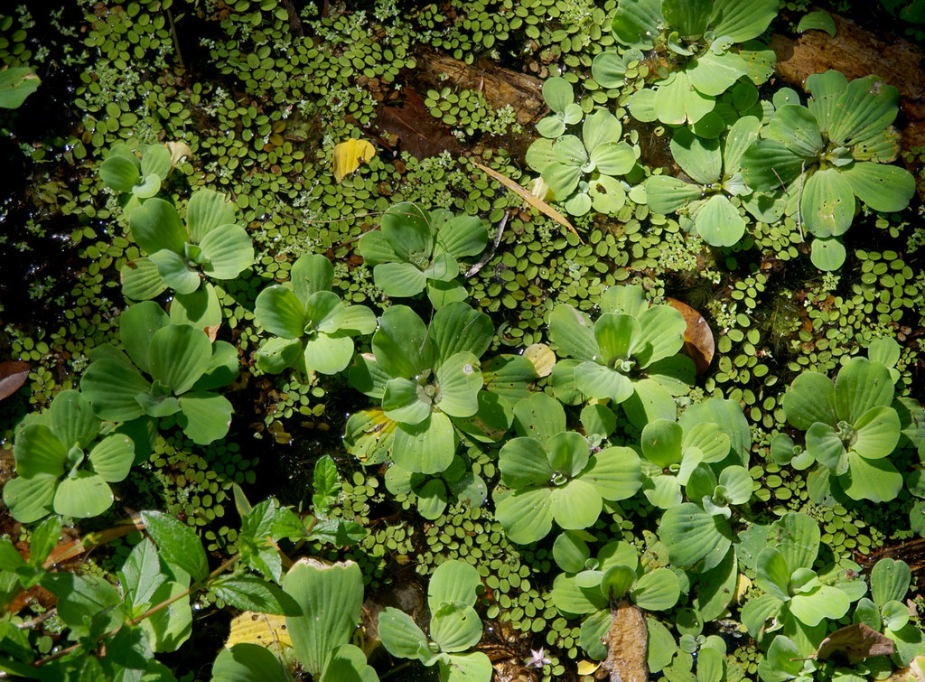Pistia stratiotes and Salvinia molesta, Ross River, Townsville, QLD, 02/01/19