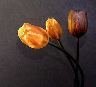 3 tulips | by marianna armata