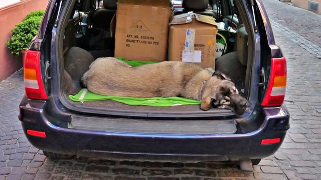 Kofferraumhund in Heidelberg
