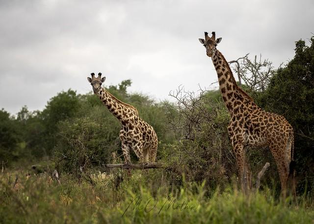 Maasai (or Masai) Giraffe (Giraffa camelopardalis tippelskirchii)