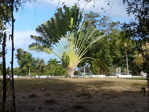palm tree roseau dominica dominicabotanicgardens 2003p1100305r fanpalm