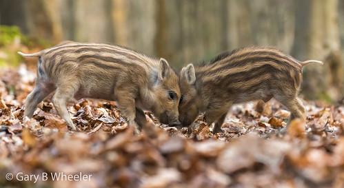 Wild Boar Humbugs