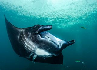 61_DSC_2147 manta ray