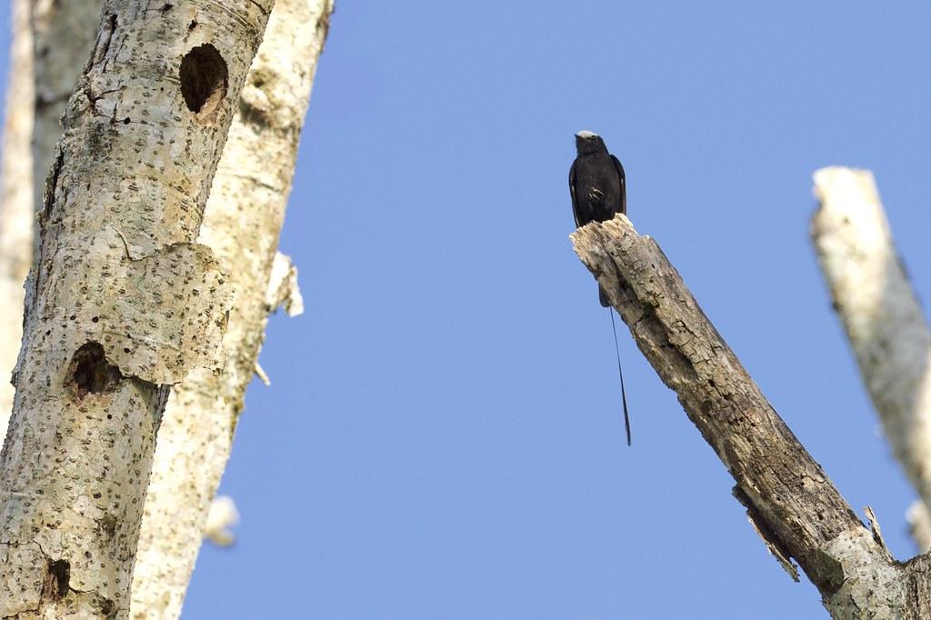 Long-tailed Tyrant (Colonia colonus), San Sebastián de la Selva, Misiones, Argentina