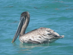 Brown Pelican, Zachary Taylor S.P., Key West, Florida 3/14/2019