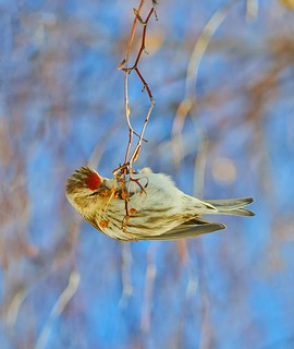 Common Redpoll 8758c
