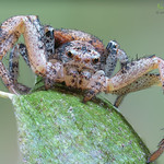 Ground Crab Spider ♀