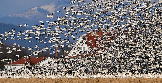 Snow geese with house