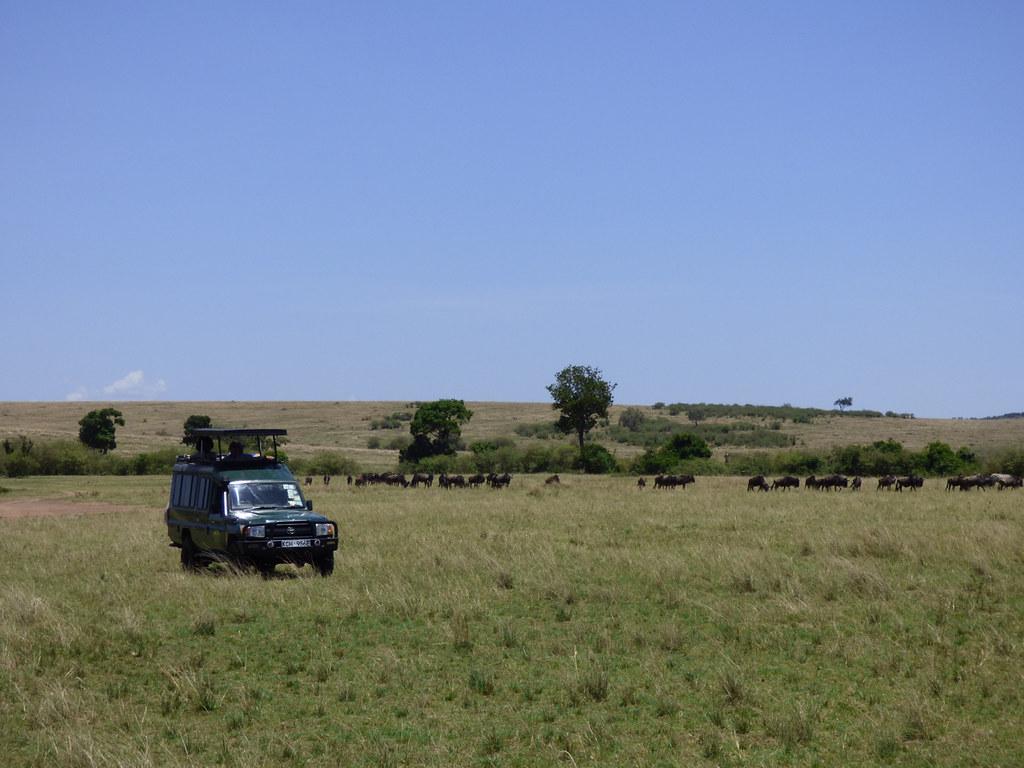Tourists in safari jeep watching blue wildebeest migration, Masai Mara