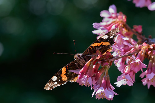 Red admiral butterfly highdown gardens #2 | by Lord V