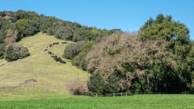 Cows on a Novato Hillside