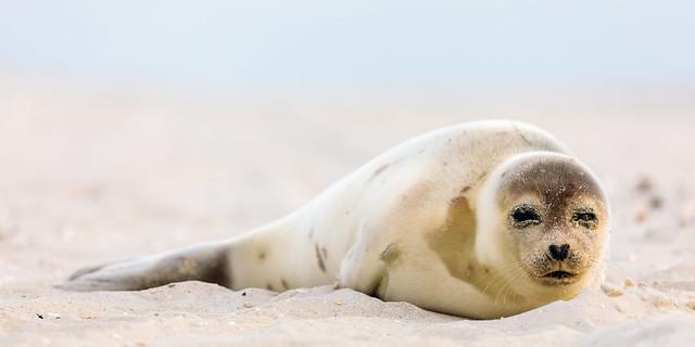 Sleepy sandy seal
