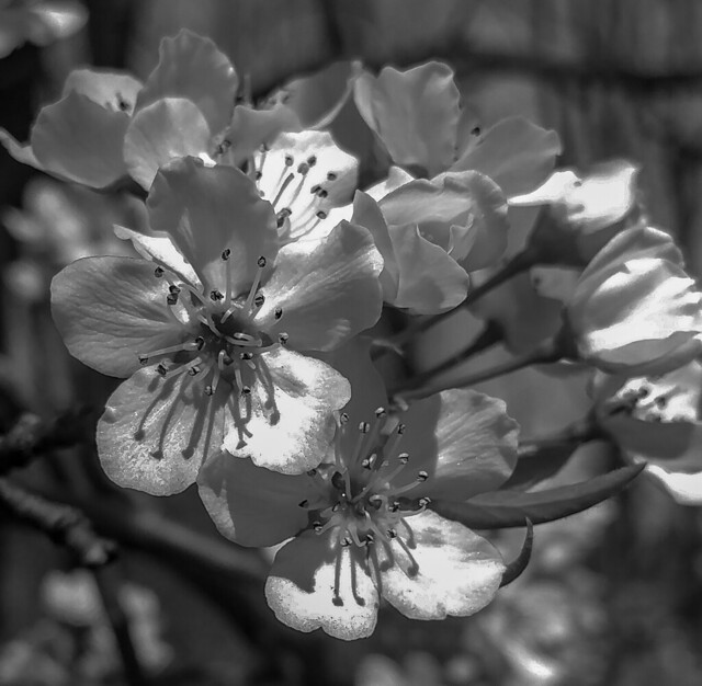 Cherry Blossoms Black and White