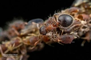 Ants (Meranoplus cf. bicolor) with aphids - DSC_3645