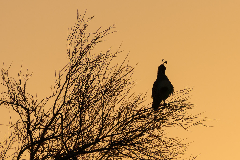 A gambel's quail sings, silhouetted against an orange sky, early on a spring morning near the Latigo Trail in McDowell Sonoran Preserve in Scottsdale, Arizona