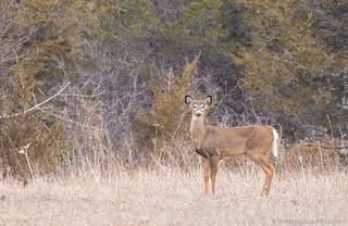 White-tailed Deer (DOL-A-8673)
