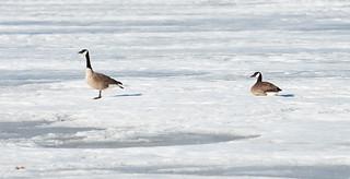 Canada Goose | by Laura Erickson