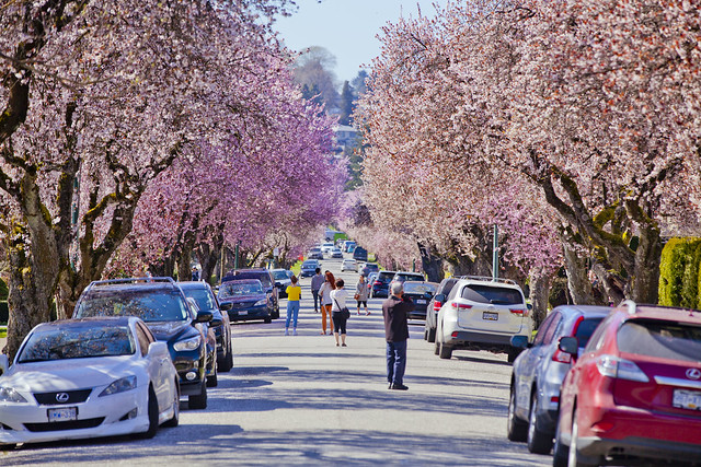 Cherry Blossoms @ 22nd Avenue x Arbutus Street, March 30th,  2019