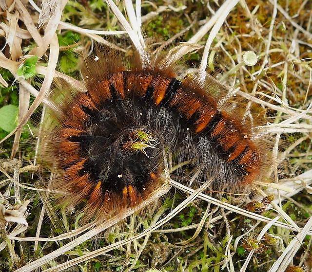 Macrothylacia rubi. Fox Moth caterpillar