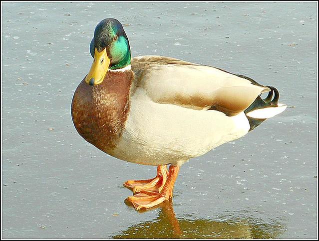 Mallard on Ice ....