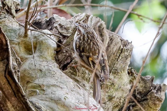 Grimpereau des jardins Certhia brachydactyla - Short-toed Treecreeper