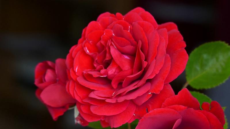 Обои макро, роза, алая роза картинки на рабочий стол, раздел цветы - скачать