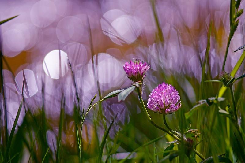 Обои лето, трава, свет, цветы, фон, сиреневый, клевер, боке картинки на рабочий стол, раздел цветы - скачать