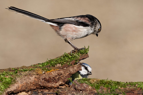 Long Tailed Tit   by Mike.Pursey