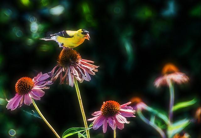 Goldfinch~~