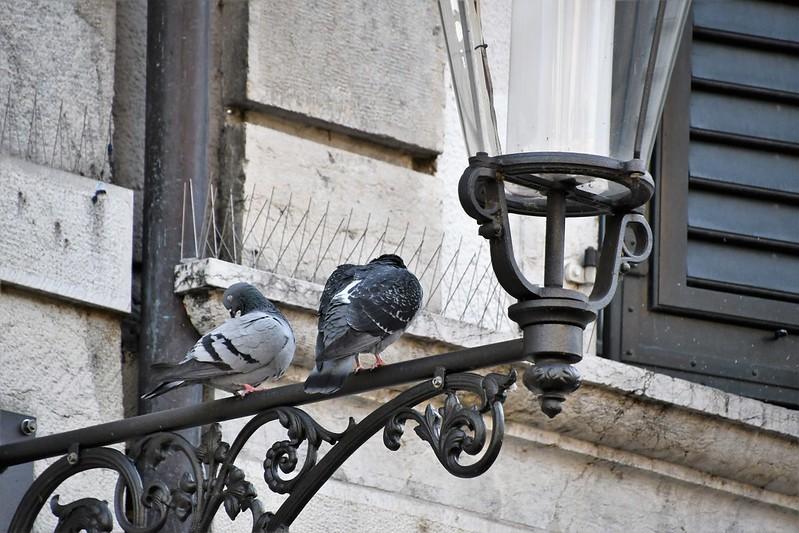 Pigeons 23.02 (4)
