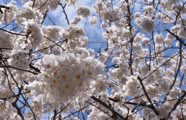 Spring Snowballs