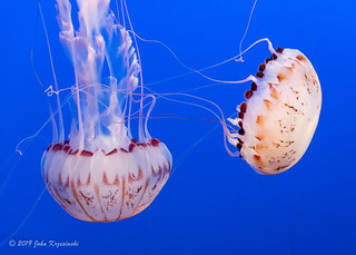 Jellyfish - living art | by Images by John 'K'