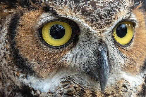 outdoor nature 7dm2 ef70200mm canon florida bird raptor fest owl eye gho