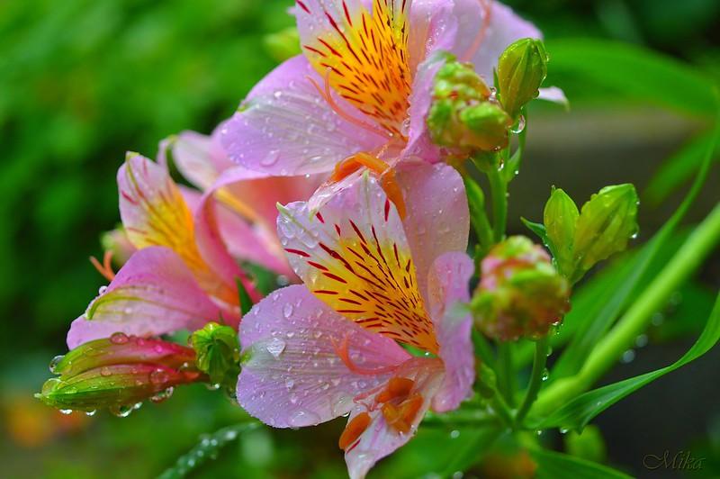 Обои Капли, Drops, Pink flowers, Розовые цветы картинки на рабочий стол, раздел цветы - скачать