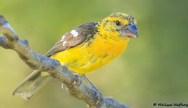 Golden Grosbeak (Pheucticus chrysogaster) - Puembo, EC