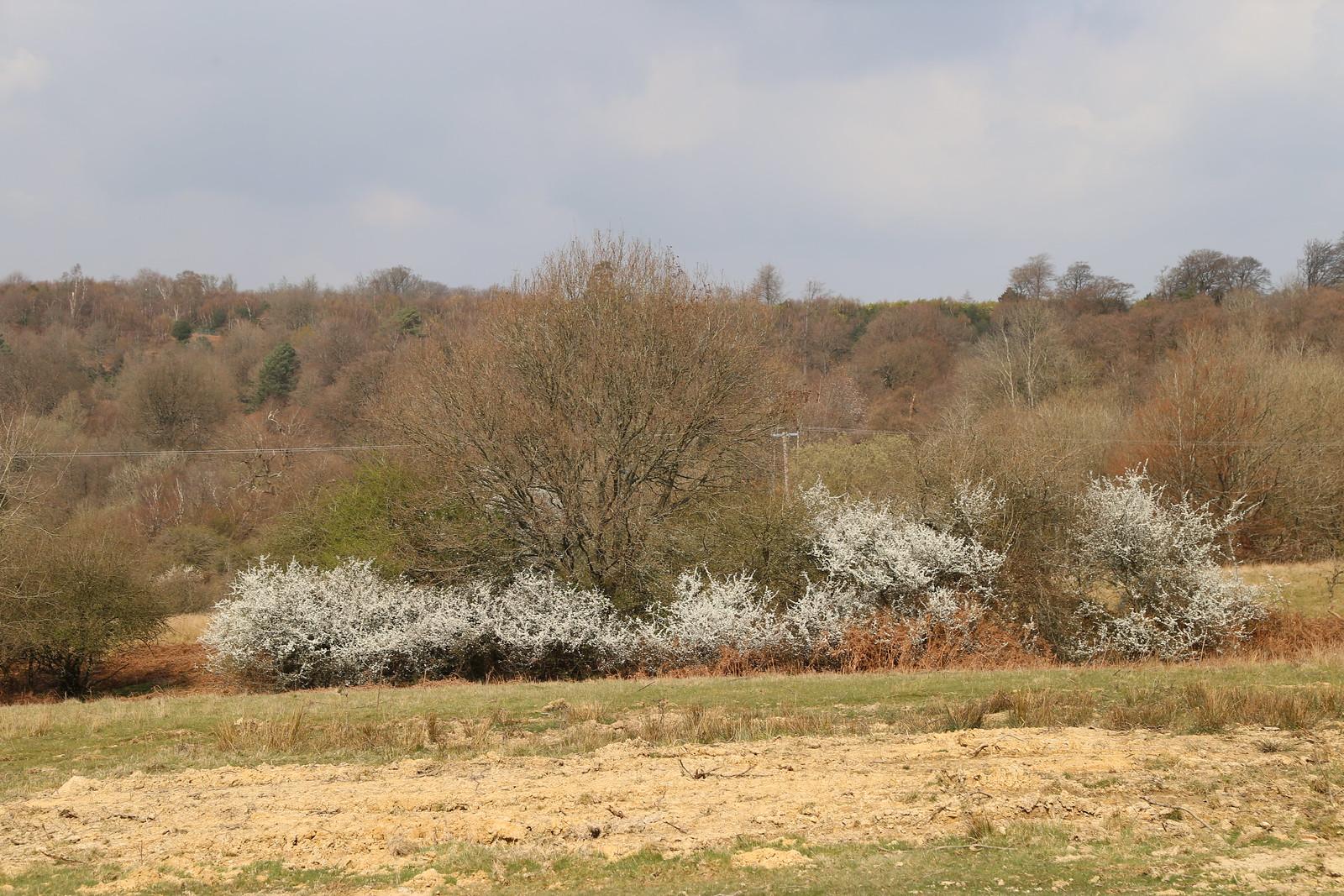 Blackthorn bushes near Eridge