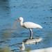 White Ibis por Clifford Pringle