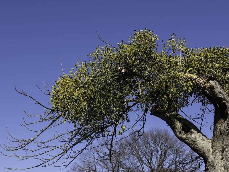 Mistletoe / Maretak (Viscum album)-819_0698