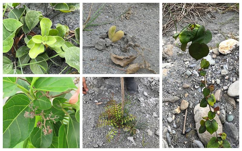 冒出新芽的蔓荊。攝影:廖靜蕙
